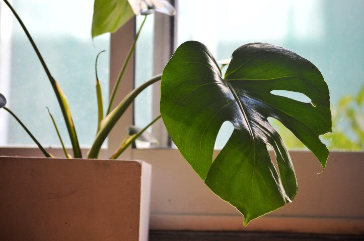 Elephant Ear House Plant